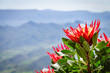 canvas print picture - protea and mountains