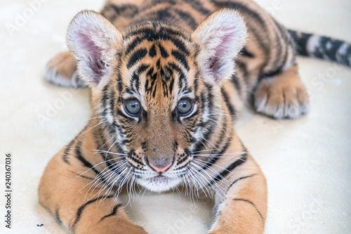 Bengal tiger baby