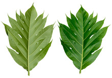 Fresh Breadfruit Leaf Isolated...