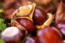 Autumn Conkers In The Grass