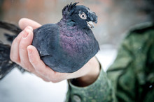 Pigeon Breeder Holds A Purebred Pigeon In His Hands