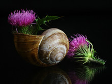 Small Still Life With Flowers Of Thistle And Snail Shell