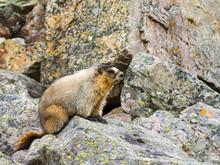 Canadian Groundhog On Stone Boulders