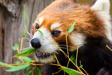 Red Panda Or Lesser Panda (Ailurus Fulgens) Gnawing Bamboo Leaves.