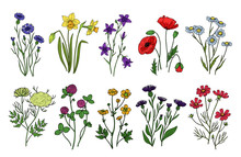 Wild Herbs And Flowers. Wildflowers, Meadow Plants. Hand Drawn Summer And Spring Field Flowering. Vintage Vector Isolated Set. Illustration Of Flower Blossom, Floral Spring, Field And Wild Flowers