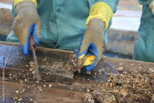 Fotografie, Obraz  pulizia delle ostriche in un allevamento di perle