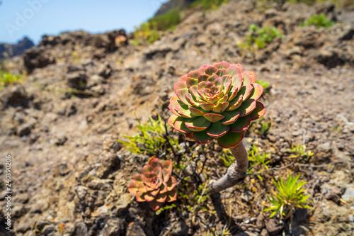 Fotografie, Obraz  A typical subtropical plant of the Canary Islands - Aeonium (tree houseleek)