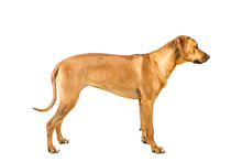 Portrait Of A Rhodesian Ridgeback Dog Isolated On White Background Studio Shot