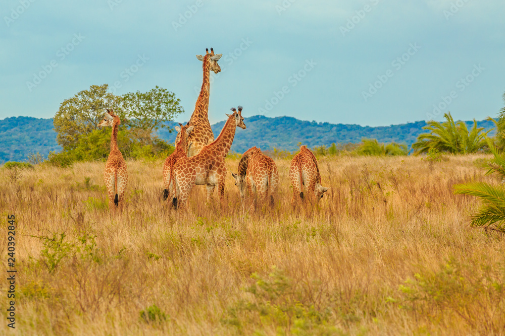 Group of African giraffe walks in iSimangaliso Wetland Park with savannah landscape. South Africa game drive safari. Copy space.