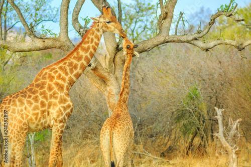 Mom giraffe with calf in Madikwe Game Reserve, South Africa Wallpaper Mural