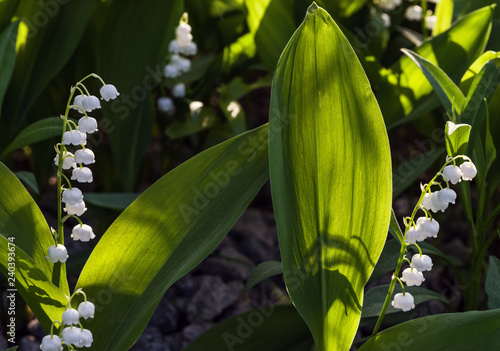 Muguet de mai Sunlit flower of the lily of the valley. Selective focus.