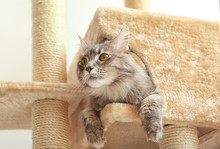 Adorable Maine Coon On Cat Tre...