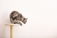 Adorable Maine Coon On Cat Tree Near Light Wall At Home. Space For Text