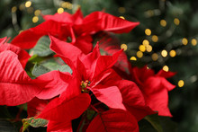 Beautiful Poinsettia On Blurre...