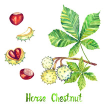 Horse Chestnut (Aesculus Hippocastanum Or Conker Tree) Leaf And Conker, Hand Painted Watercolor Illustration Isolated On White