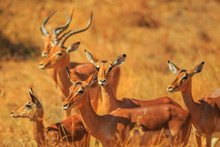 Side View Of Impala Group, Aepyceros Melampus, Standing In Madikwe Game Reserve During Game Drive Safari In South Africa. Blurred Background. Dry Season.