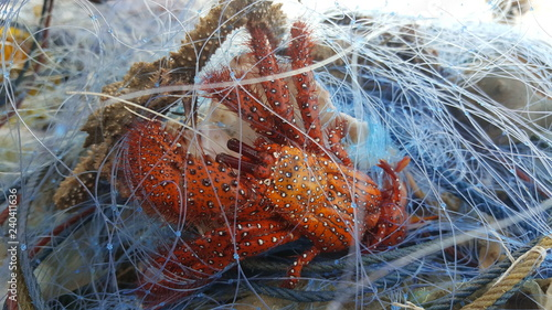 hermit crab in net, nature background, seafood, aquatic animals