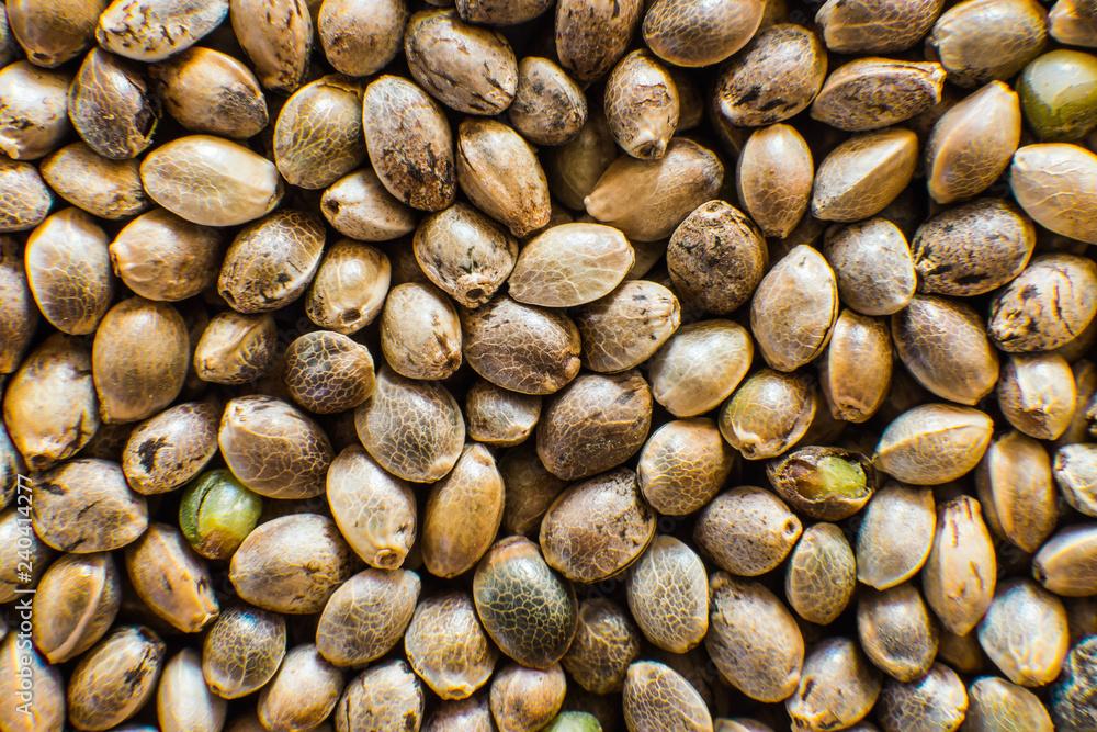 Fototapety, obrazy: Many Cannabis seeds. Organic Hemp seed. Top view. Hemp seeds background in macro. Macro detail of marijuana seed.
