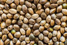 Many Cannabis Seeds. Organic H...