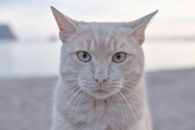 Portrait Cat, Beautiful Puffy ...
