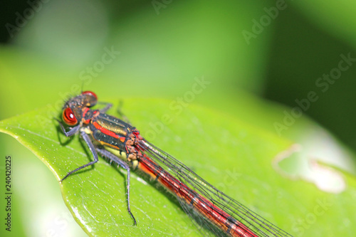 Large Red Damselfly on a leaf