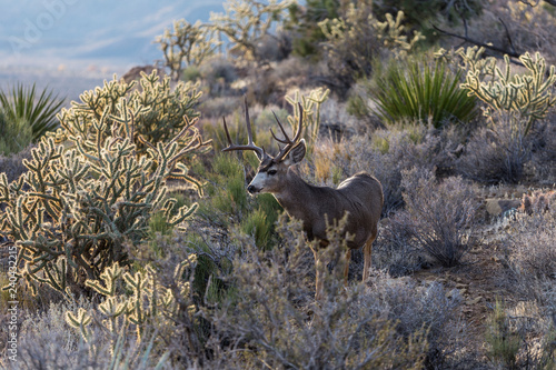 Large buck mule deer with large antlers and cholla cactus.  Shot taken at Red Rock Canyon National Conservation Area near Las Vegas, Nevada.