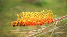 Grevillea Flower Of Yellow Orange On Tree In The Summer Garden / Flowers Of  Grevillea In Pine Family