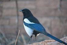 Black Billed Magpie Bird In Denver, Colorado