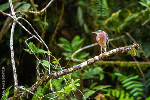 Photo  Beautiful least bittern bird close up hunting