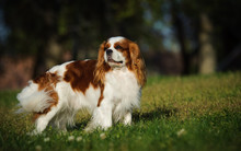Cavalier King Charles Spaniel Portrait Standing In Grass