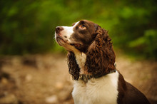 English Springer Spaniel Dog Portrait In Forest