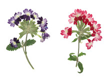 Pressed And Dried Flower Verbena, Isolated On White