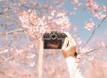 Mirrorless Digital Camera In Hand On Pink Wild Himalayan Cherry Flower Background