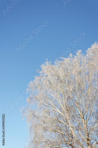 Birch tree crown covered with hoarfrost