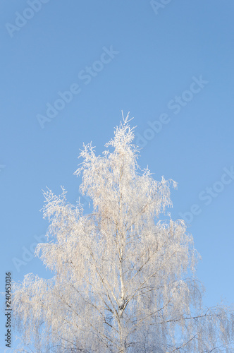 Birch tree covered with hoarfrost