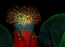 Flower Of Arabidopsis Thaliana