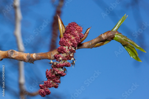 Fotografie, Obraz Young twig of blossoming poplar tree with male catkins against the blue sky