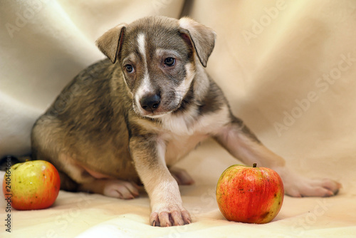 Foto  Puppy mongrel half-breed sheepdogs and apples