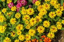 Flower Sulfur Cosmos
