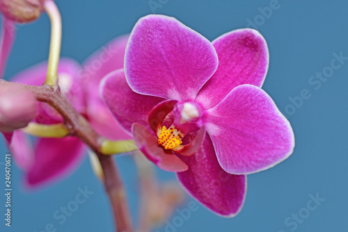 Fototapeta Fuchsia Phalaenopsis Orchid obraz