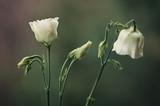 Kwitnące Eustomy na zielonym tle