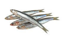 Raw European Anchovy Isolated ...