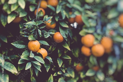 Branches with the fruits of the orange trees. Selective focus.