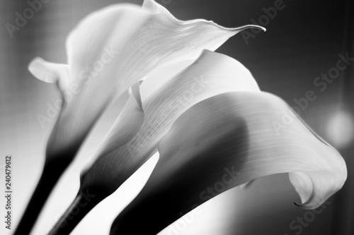 Leinwand Poster Callas trio backlight. Black and White.