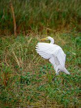 Image Of White Egret Fluttering On A Natural Background. Animal. White Bird.