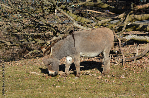 Fotografie, Tablou Donkey in pasture