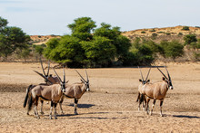 Oryx Herd At A Waterhole In The Kgalagadi Transfrontier Park In South Africa