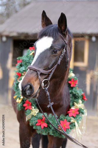Fotografía  Beautiful purebred saddle horse wearing colorful christmas wreath on advent week