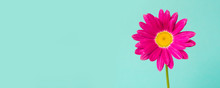 Pink Pyrethrum Flower On Blue ...