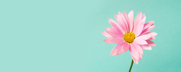 Pink pyrethrum flowers on blue. Pink daisy. Space for text.